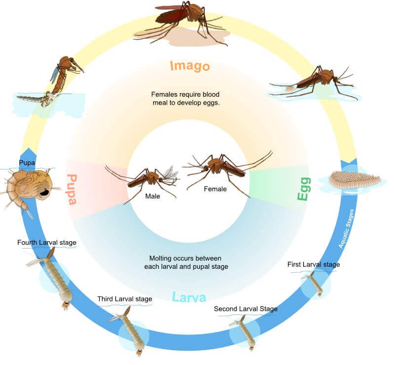 the-mosquito-life-cycle