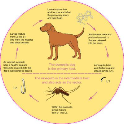 heartworms-in-dogs-and-cats-theres-no-such-thing-as-an-outdoor-only-mosquito